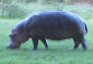 hippo (8k image)