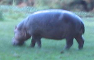 hippo (6k image)