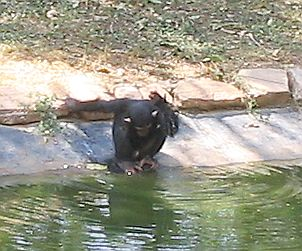 [Chimp]