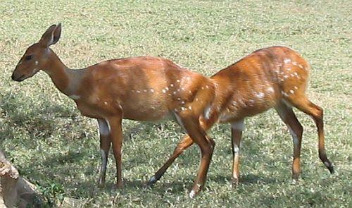 [Antelope]