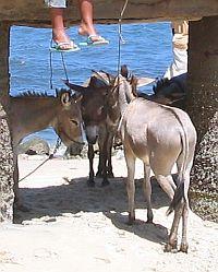 [Donkeys]