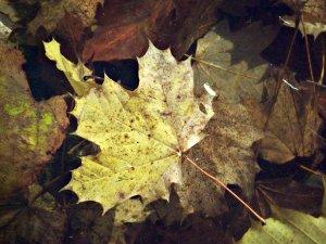 leafsmall.JPG